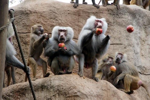 Bavianen in de dierentuin van Keulen